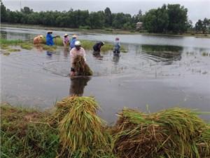 Bão số 4 'gặt' gần 1.000 ha lúa và hoa màu