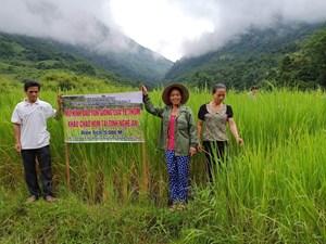 Bảo tồn giống lúa thơm đặc sản ở Na Loi