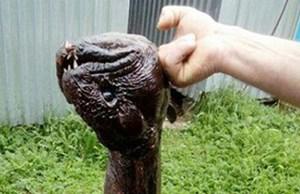 Bắt được sinh vật lạ mình lươn đầu giống cá piranha