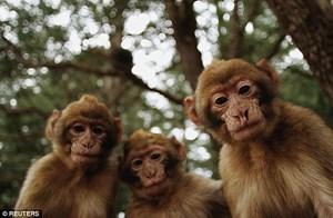 Bầy khỉ hung dữ dùng gạch ném người tới chết