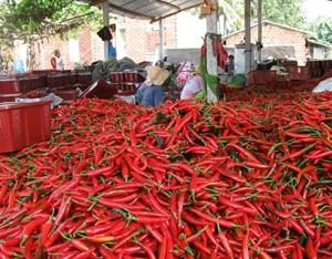 Bình Định: Nông dân lao đao vì ớt giảm giá