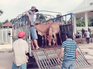 Bình Định: Trao tặng bò giống cho hộ nghèo