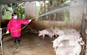 Bình Phước: Chính thức công bố dịch tả lợn châu Phi
