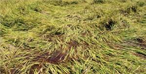 Bồi lấp mương, gần 2 ha lúa bị ngập nước