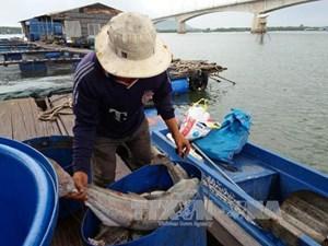Cá chết trên sông Chà Và là do nhiễm ký sinh trùng quả dưa