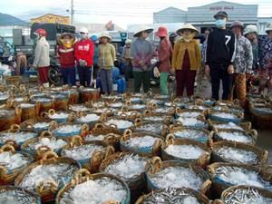 Cá cơm tăng giá, ngư dân phấn khởi