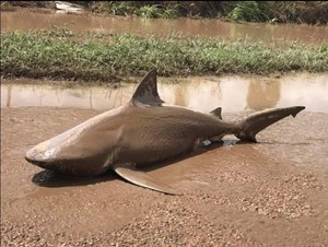 Cá mập sát thủ nằm giữa phố sau bão
