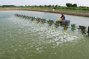 Cà Mau: Chấn chỉnh việc nuôi tôm gây ô nhiễm môi trường