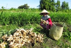 Cà Mau:  Gừng xuống giá, nông dân buồn