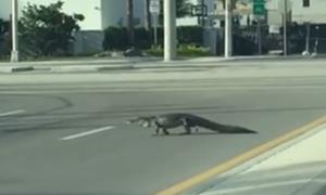 Cá sấu dạo bước trên đường phố sau bão lớn ở Mỹ