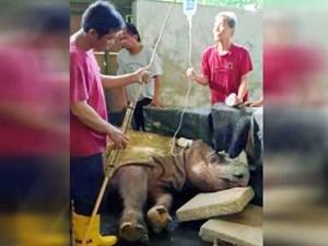 Cá thể tê giác đực Sumatra cuối cùng của Malaysia đã bị chết