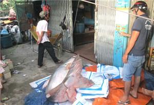 Cá tra khủng nặng 200 kg gây chú ý tại An Giang