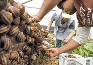 Cảnh giác với ký sinh trùng nguy hiểm khi ăn ốc sên