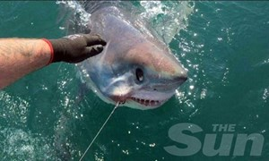 Câu được cá mập nặng gần 2 tạ
