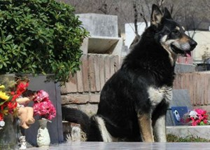 Chó trung thành chờ đợi 10 năm bên mộ chủ
