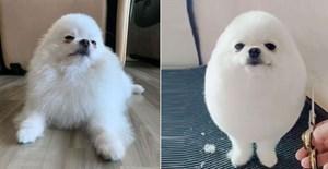 Chú chó giống hệt quả trứng khiến dân mạng phát sốt
