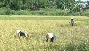 Chủ động thu hoạch lúa để tránh lũ sớm, triều cường