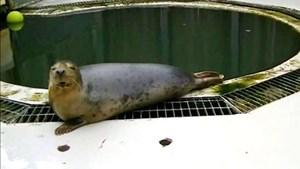 Những chú hải cẩu biết hát ở Scotland