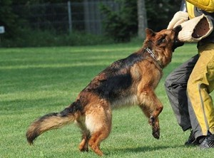 Chuyện về loài chó Berger Đức nổi tiếng thông minh