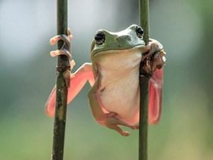 Loài ếch được cho là đã tuyệt chủng phát hiện ở Costa Rica