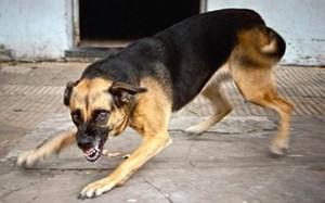 Cụ bà bị hai con chó bécgiê cắn hơn 30 vết thương