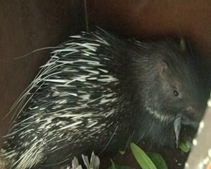 Cứu 11 con nhím hoang dã đang bị mang đi tiêu thụ