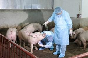Xử lý dịch tả lợn châu Phi tiêu tốn hàng nghìn tỷ đồng