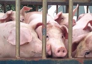 Đã có 9 địa phương xuất hiện dịch tả lợn châu Phi