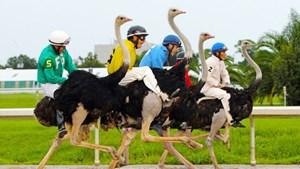 Đà điểu: Loài chim châu Phi sống theo lối bầy đàn nhỏ