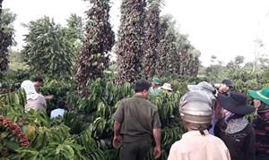 Đắk Lắk: Hơn 700 gốc tiêu bị chết lụi do kẻ gian phá hoại