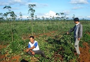 Đắk Lắk: Nhức nhối nạn hồ tiêu bị phá hoại