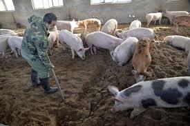 Đắk Nông: Khẩn trương ngăn chặn dịch tả lợn châu Phi
