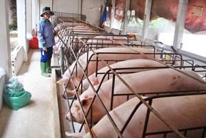 Đàn lợn vẫn chưa được 'giải cứu'