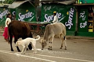 Đau đầu vì nạn bò hoang