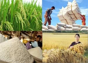 ĐBSCL: Giá lúa giảm nhẹ