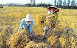 ĐBSCL: Lúa được giá, nông dân phấn khởi