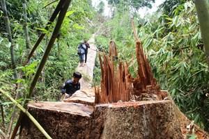 Để mất rừng, GĐ BQL rừng phòng hộ Nam Sông Bung bị cách chức Đảng