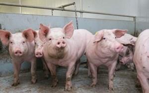 Sớm hỗ trợ hộ chăn nuôi thiệt hại do dịch tả lợn châu Phi
