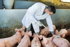 Lâm Đồng: Phát hiện ổ dịch tả lợn châu Phi đầu tiên