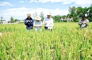 Đồng bằng sông Cửu Long: Nhiều bất cập trong sản xuất giống