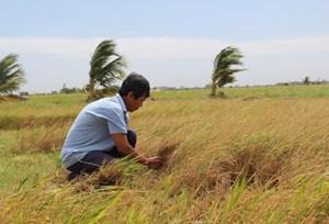 Đồng bằng sông Cửu Long: Nhiều diện tích lúa bị dịch bệnh