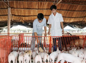 Gần 280 nghìn hộ chăn nuôi cam kết không sử dụng chất cấm