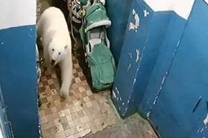 Gấu Bắc cực 'xâm lăng' thị trấn Nga