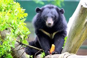 Gấu hoang dã suy giảm