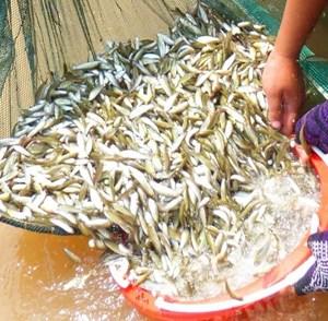 Giá cá linh tăng cao