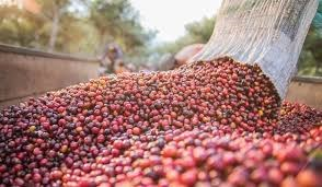 Giá cà phê mất gần 2.000 đồng/kg