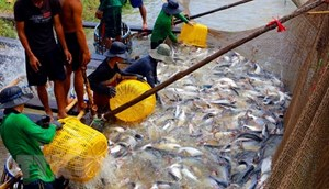 Giá cá tra nguyên liệu tăng cao kỷ lục