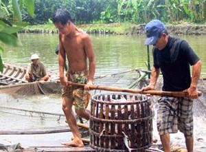 Giá cá tra tăng, người nuôi vẫn lo