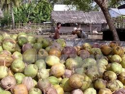 Giá dừa tăng, nông dân phấn khởi
