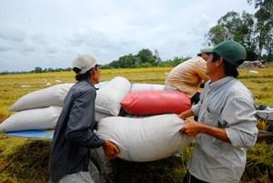 Giá lúa đang có lợi cho nông dân